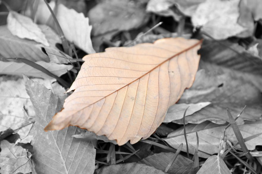 b&w big leaf