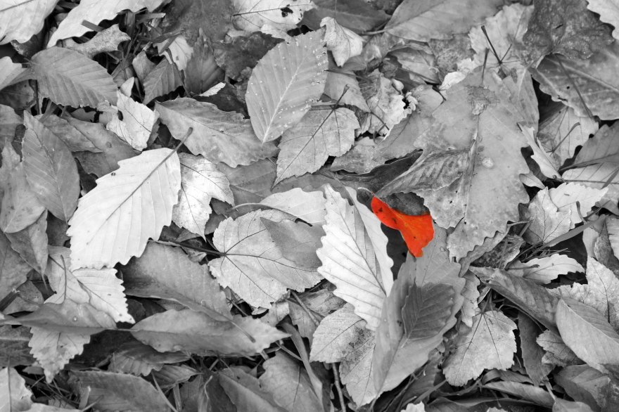 b&w red leaf 2